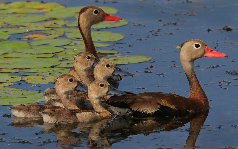 zAnahuac 8-21-14, Old T3i, 031A, Black-bellied Whistling Duck family (1 of 1).jpg
