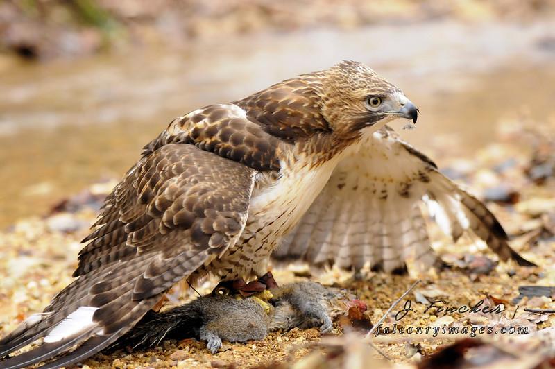 hawk with squirrel on creek bank2.JPG