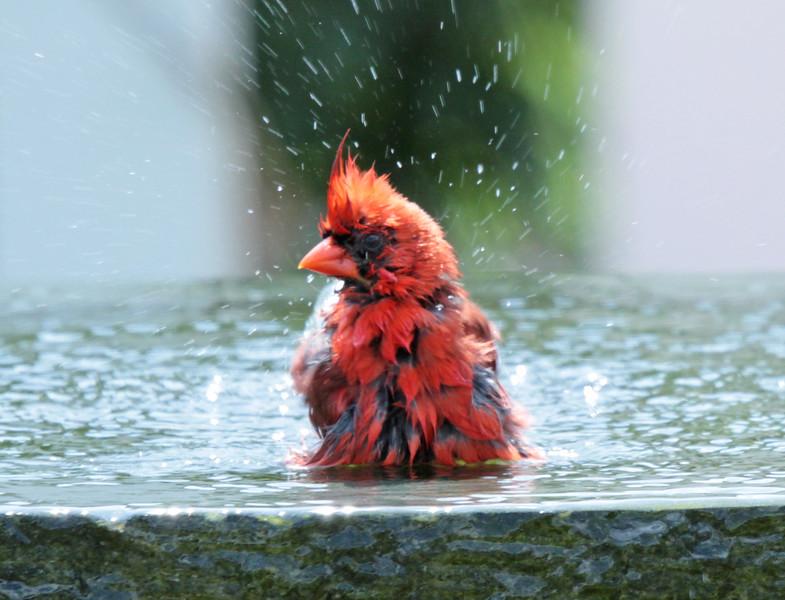 cardinal bathing 4.jpg