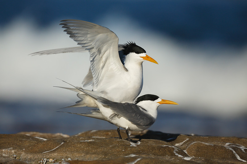 Crested Terns Mating MASTER.jpg