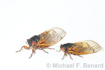 Brood X Periodical Cicadas