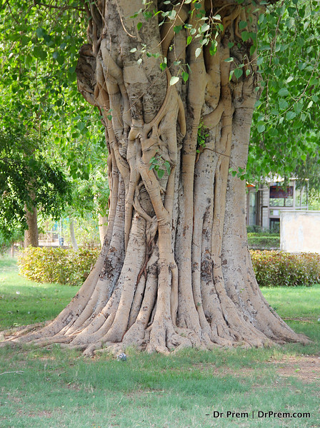 The Banyan Stands Tall