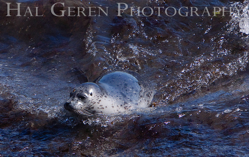 Harbor Seal Pup Point Lobos, California 1005BS-HSP7