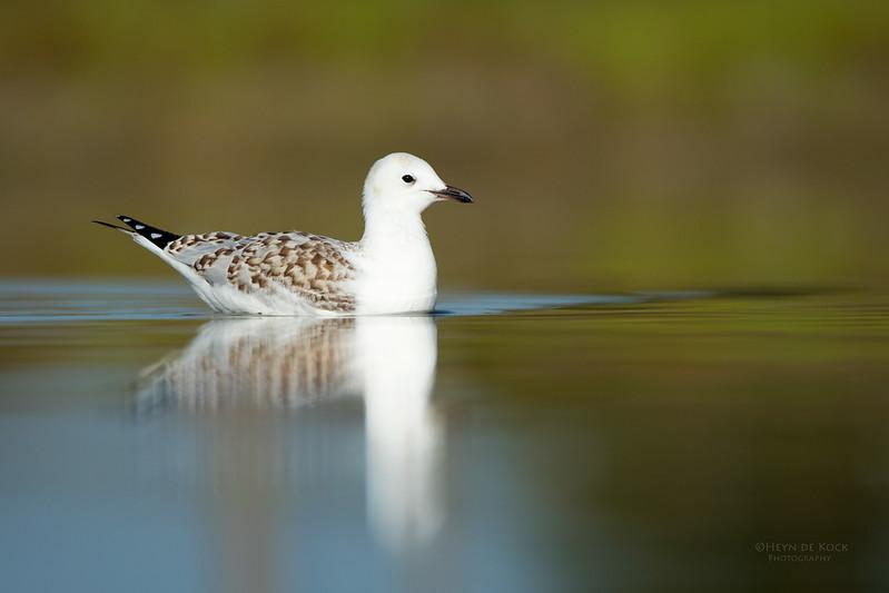 Silver Gull, imm, Lake Wollumboola, NSW, Nov 2014-2.jpg