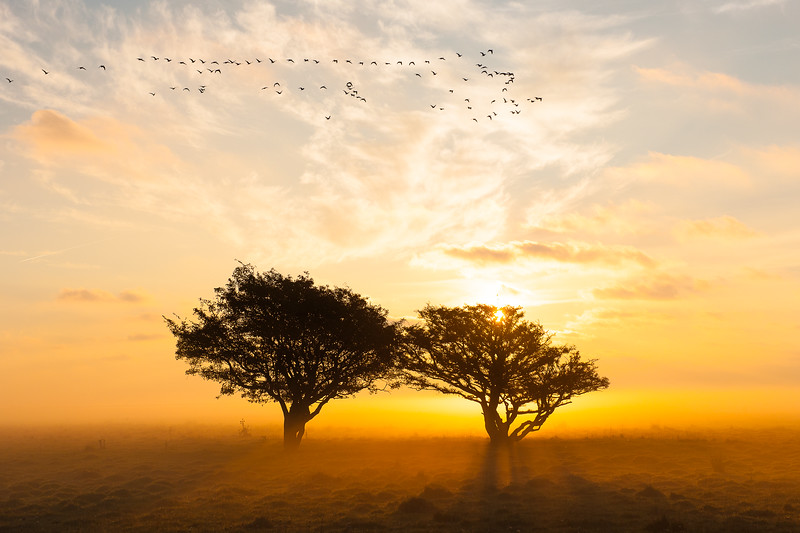 Barnacle goose , Vitkindadgås