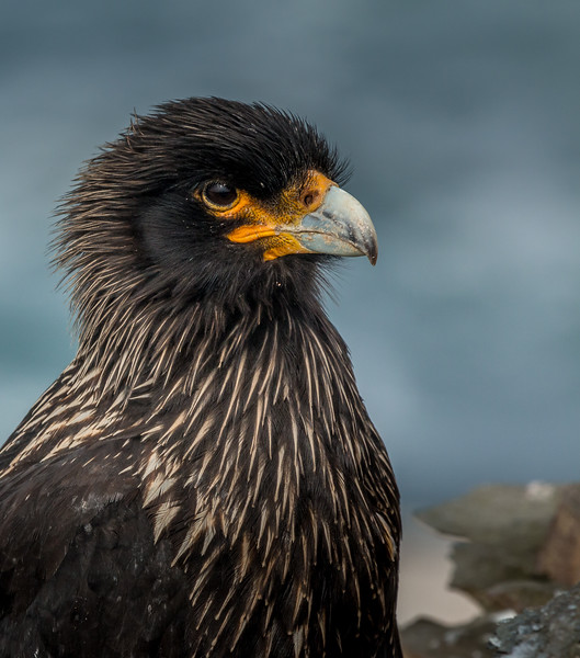 Striated caracara, Sea Lion Island, Falklands
