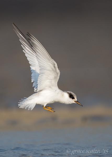 Least Tern Leap
