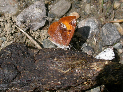 Gossamer-wing Butterflies (Lycaenidae)
