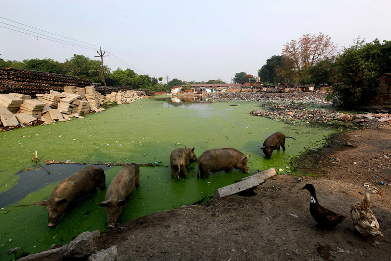 . Pigs feed in a pond polluted with plastic and other garbage in Allahabad, India, Tuesday, June 4, 2013. The World Environment Day will be marked on Wednesday, June 5. (AP Photo/ Rajesh Kumar Singh)