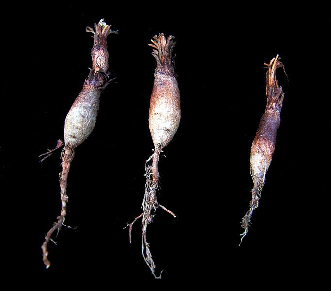 Pelargonium aestival (Murraysburg) tubers