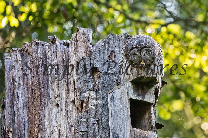 Owl  (27)