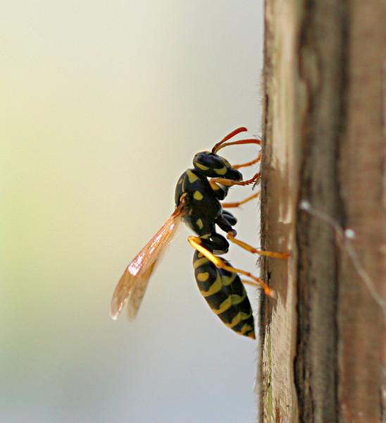 2711 Wasp crop.jpg