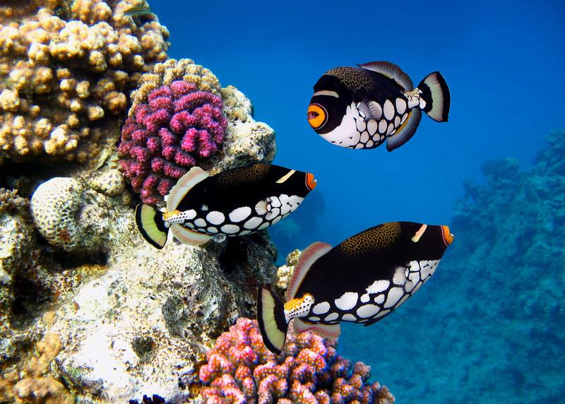 CLOWN TRIGGERFISH - MALDIVES