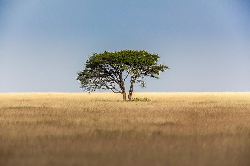 The iconic Serengeti tree shot. Umbrella Acacia tree.