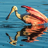 Roseate Spoonbill - Everglades National Park - March 2014