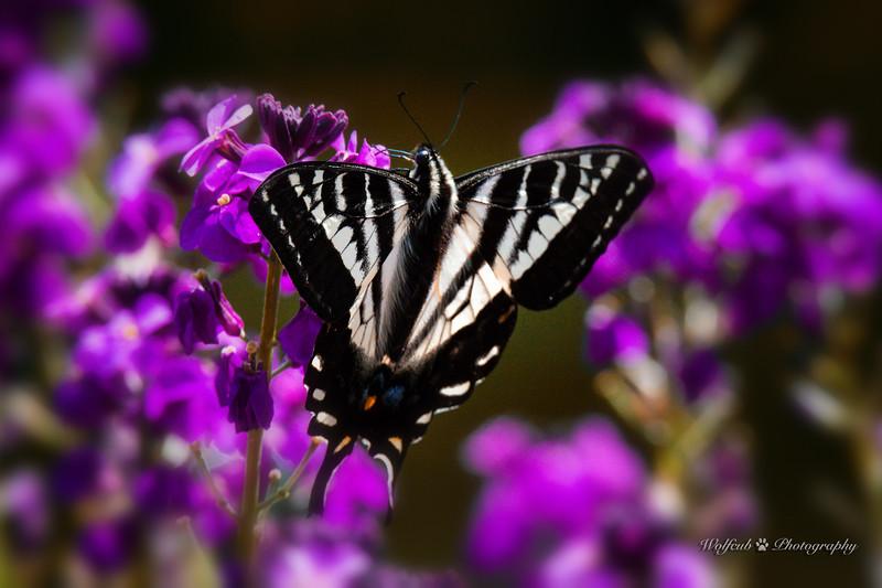 butterfly-24WC.jpg