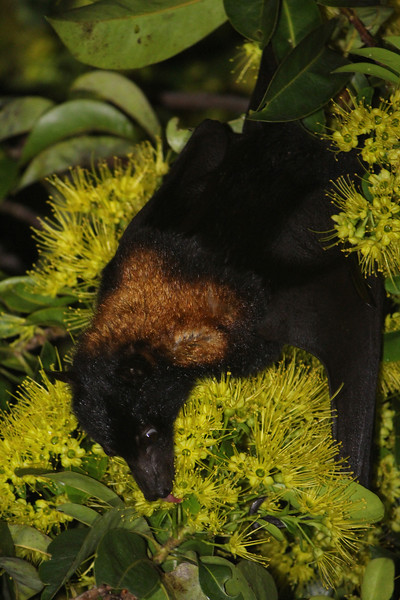 Black flying-fox, Australia