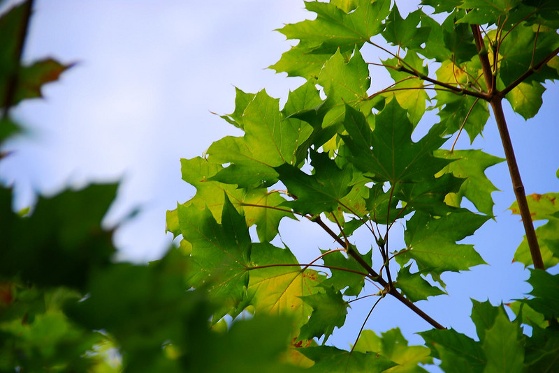 7/30/07 – I always shoot this maple in our front yard in the fall. I thought it would be fun to shoot it in the summer while it was still green.