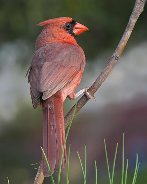 sx50_cardinal_boas_353.jpg