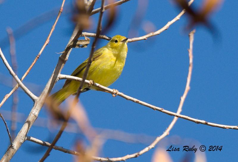 Yellow Warbler - 12/29/2014 - Santee Lakes