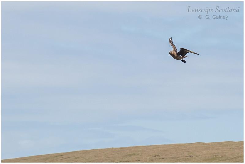 Bonxie (Great Skua) in flight, Herma Ness (Unst)