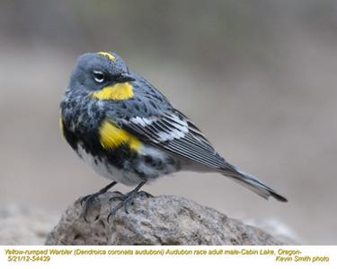 YellowRumpedWarblerAudubonM54439.jpg