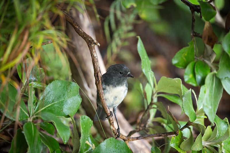 Robin on Ulva Island