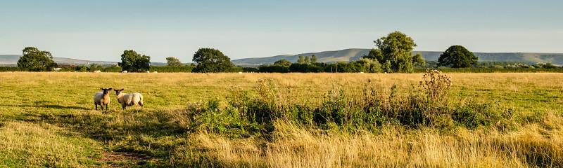 Lambs at Lewes