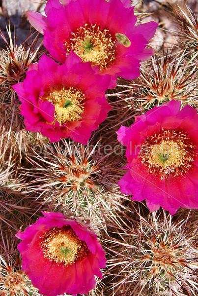 #5 Bee in Cactus Flowers.JPG
