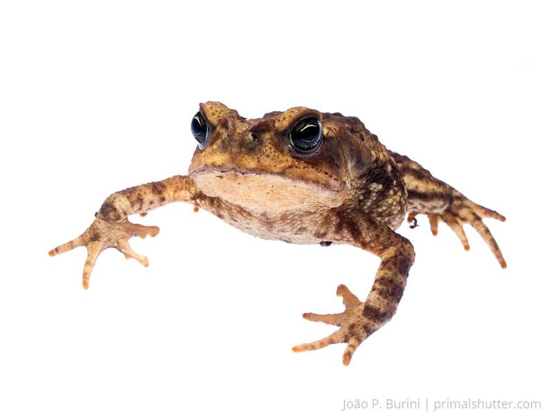 "Bufonid toad, ""sapo cururu"" (Rhinella icterica) Tapiraí, São Paulo, Brazil Atlantic forest (rainforest strictu sensu) August 2015"