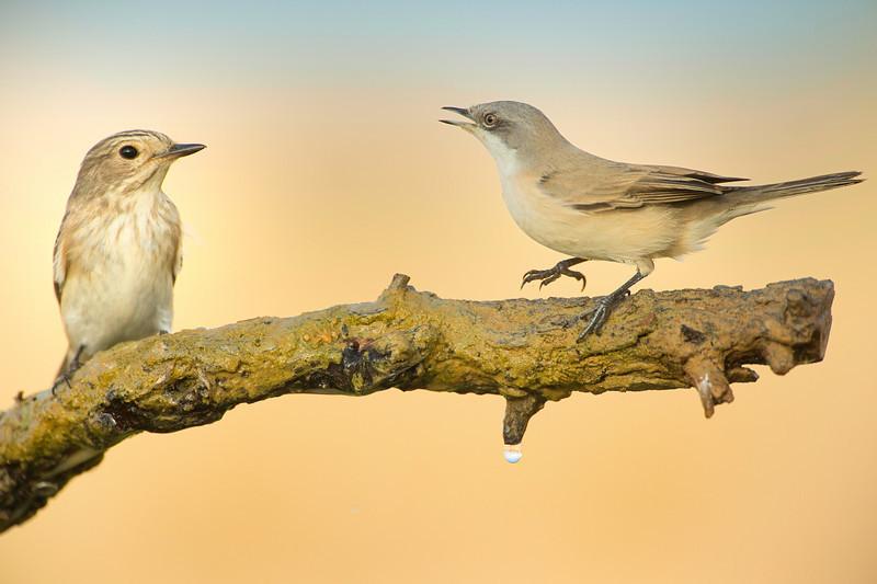 Lessr Whitethroat & Spotted Flycatcher
