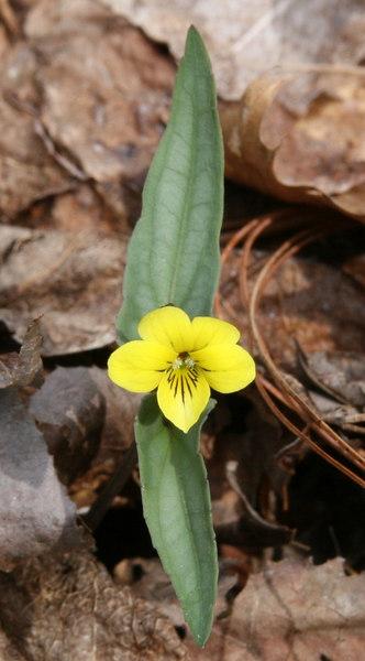 Viola hastata 2.jpg