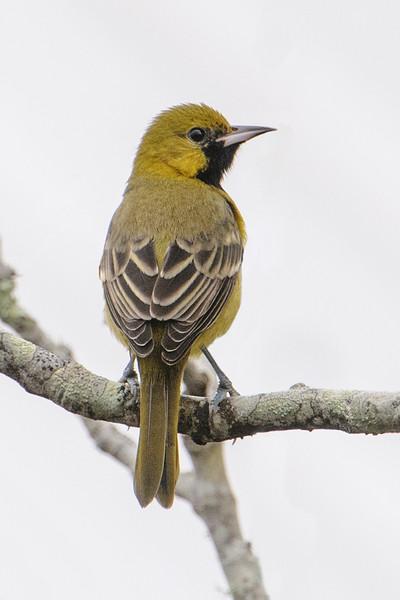 Oriole - Orchard - juvenile male - Apalachicola, FL