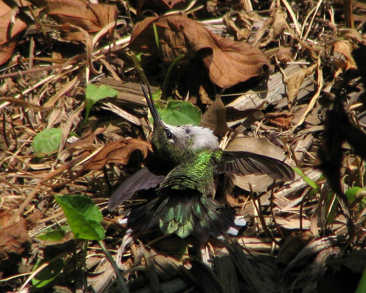 hummingbird_3849.jpg