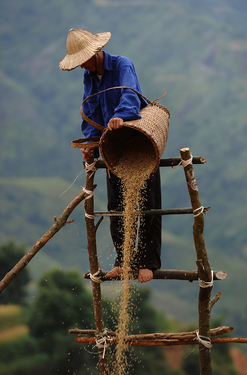 . This picture taken on October 1, 2013 shows a Hmong ethnic hilltribe man pourring down paddy seeds from height in a way that wind will extract empty seeds during a rice harvesting on a terrace rice field in Mu Cang Chai district, in the northern mountainous province of Yen Bai. The local residents, mostly from the Hmong hill tribe, grow rice in the picturesque terrace fields whose age is estimated to hundreds years. Due to hard farming conditions, especially irrigation works, locals produce only one rice crop per year. In recent years a growing numbers of tourists have been attracted by the beautiful landscapes created by the region\'s rice terrace fields.  HOANG DINH NAM/AFP/Getty Images