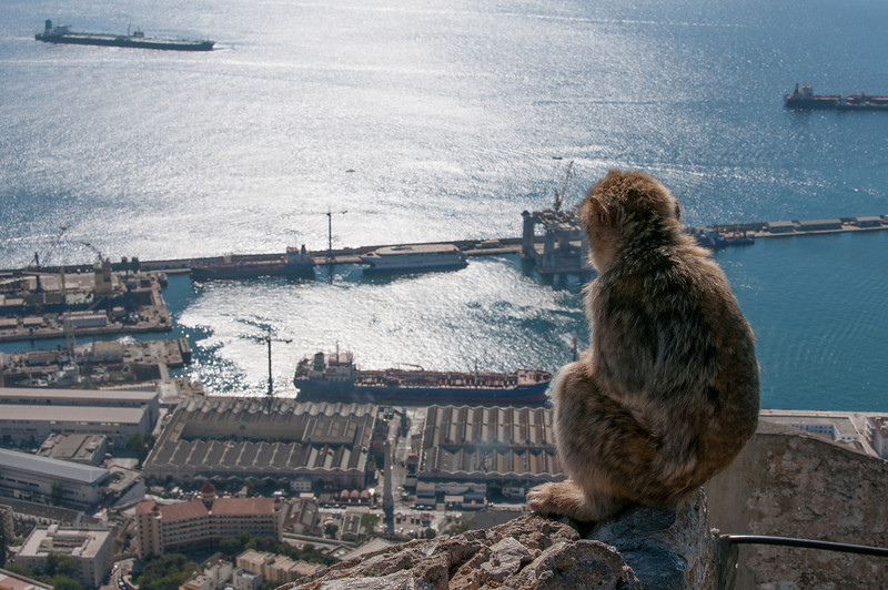 An ape looking out into the sea - Gibraltar