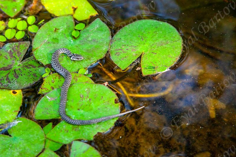 Dice Snake (Natrix tessellata)  נחש מים משובץ