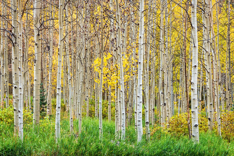 Early Fall Aspens. Colorado