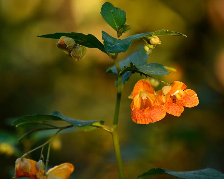Orange bell flowers.jpg