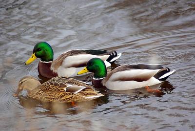 Ducks Geese