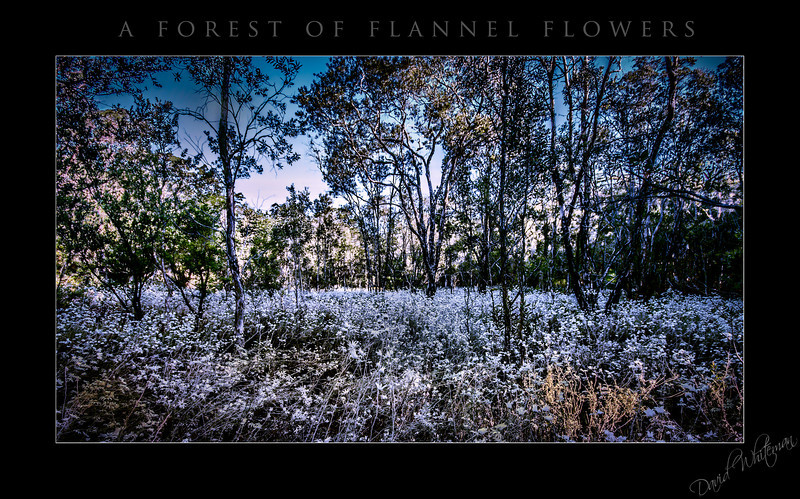 Forest of Flannel Flowers