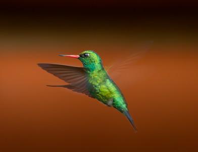 Glittering-bellied Emerald