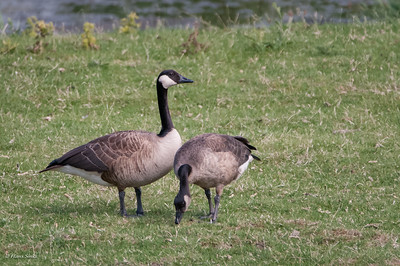Goose, Greater Canada
