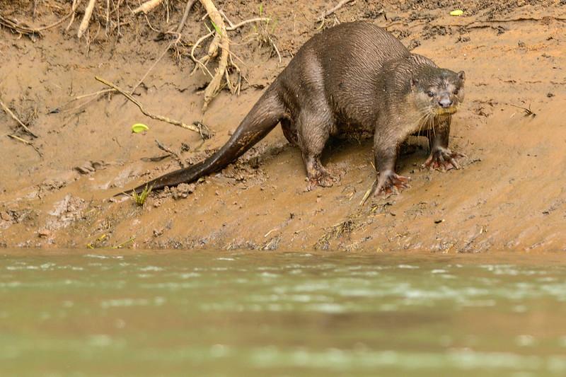 Fresh-water-Otter.jpg