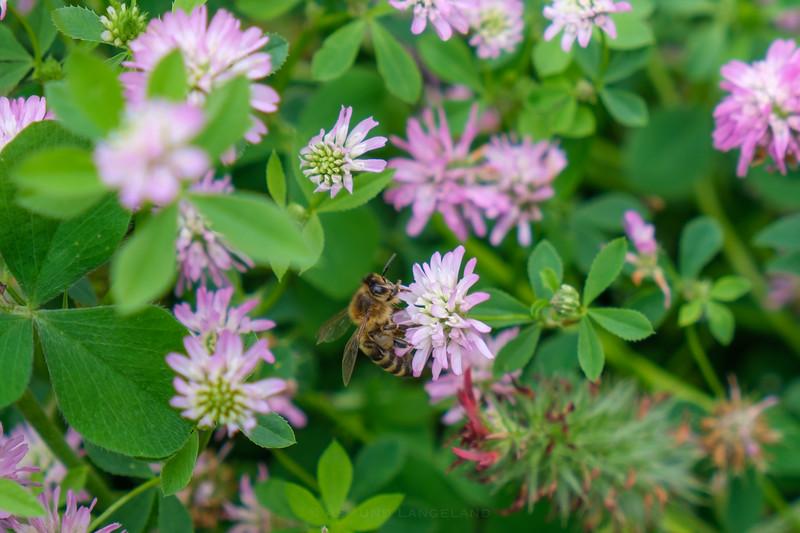 Honningbie på Perserkløver
