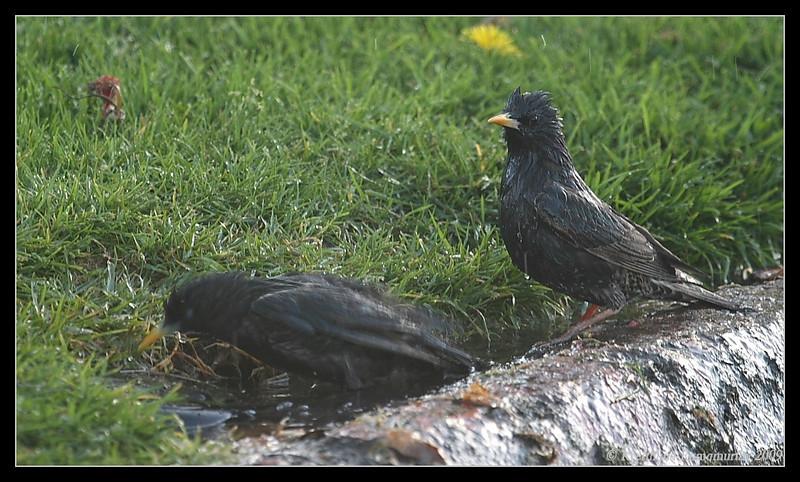 European Starlings taking a bath, Mission Bay, San Diego County, California, April 2009