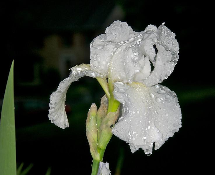Iris after rain
