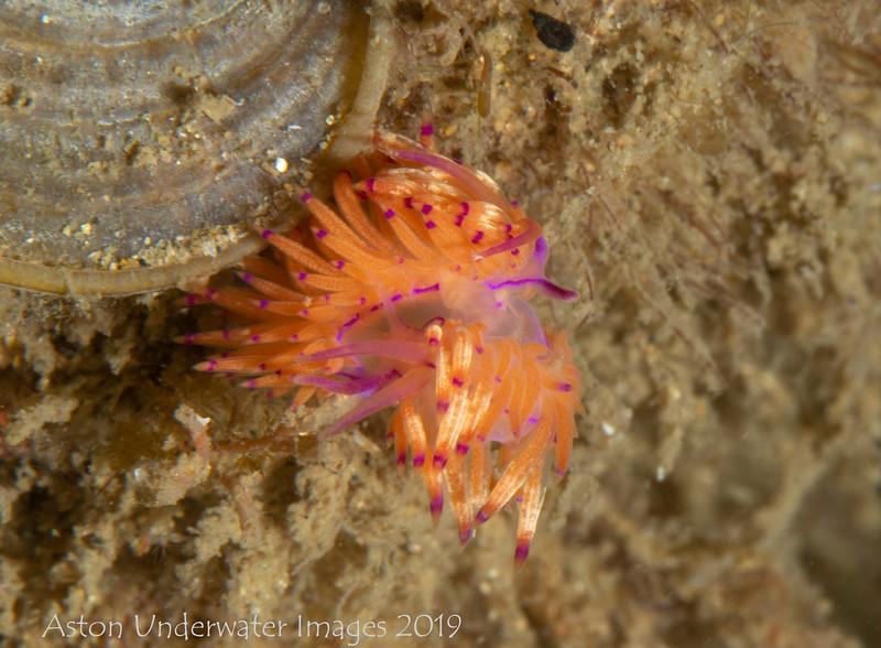 Unidentia sandramillenae (mating)