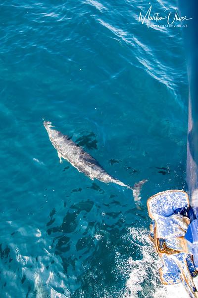 Dolphin, Common