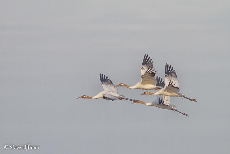 20120207-_MG_2718Whooping_Cranes_White_Lake-Edit.jpg